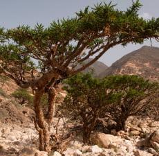 Frankincense Organic (Boswellia serrata)