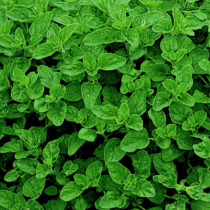 Marjoram Organic (Thymus mastichina)