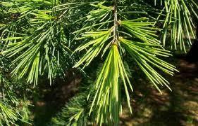 Cedarwood Organic (Cedrus atlantica)