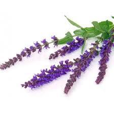 Clary Sage Salvia sclarea
