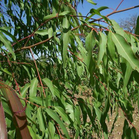 Eucalyptus Lemon Organic (Eucalyptus citriodora)