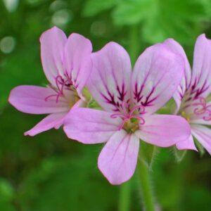 Geranium Organic (Pelargonium x asperum)