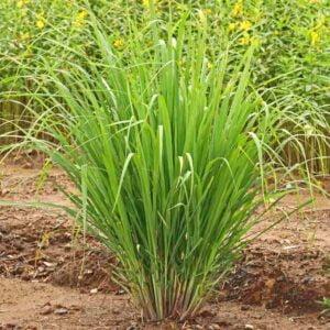 Lemongrass Organic - (Cymbopogon flexuosus)