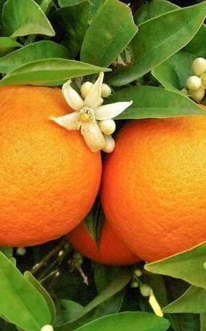Orange (Sweet) Organic (Citrus sinensis)