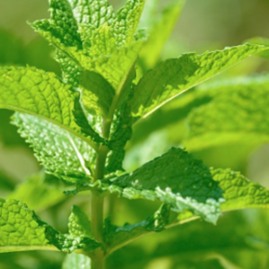 Peppermint Japanese (Mentha arvensis)