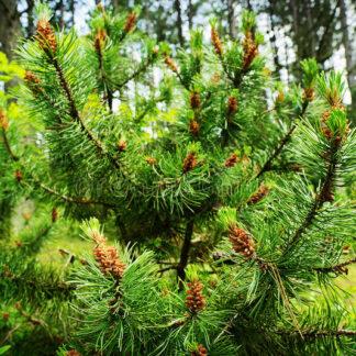 Pine Scotch (Pinus Sylvestris)