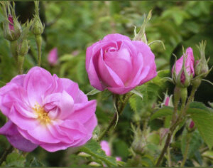 Rose Absolute (Rosa damascene)
