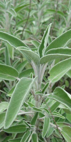 Sage Organic (Salvia officinalis)
