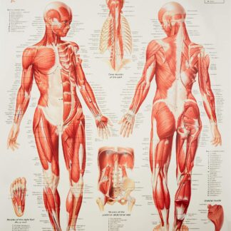 Muscular System Female chart