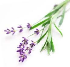 Lavender Essential Oil - lavendula angustifolia