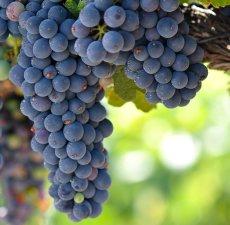 GrapeSeed Carrier Oil (Vitis vinifera)