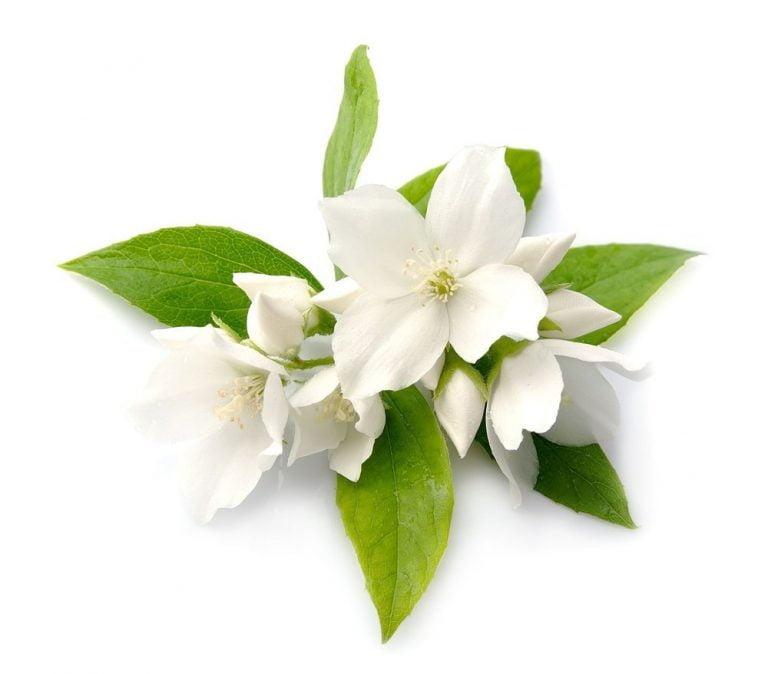 Jasmine Grandiflorum Essential Oil