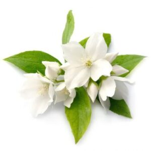 Jasmine Grandiflorum Essential Oil