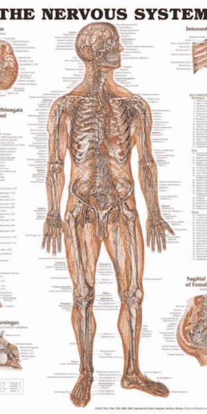 Nervous system wall chart