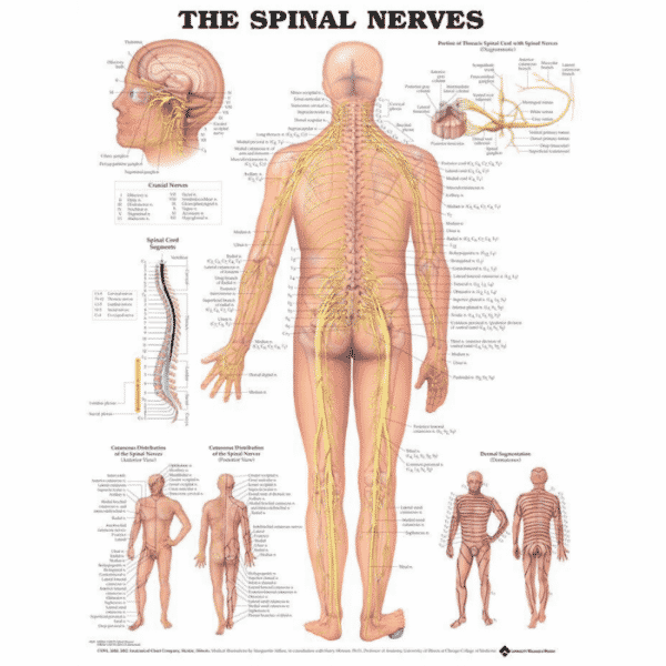 Spinal Nerves Anatomical Chart